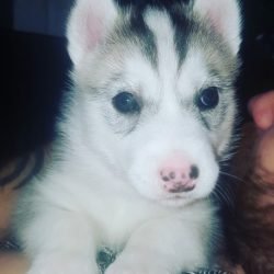 beautiful-siberian-husky-boy-for-sale-5a31926d18b0f